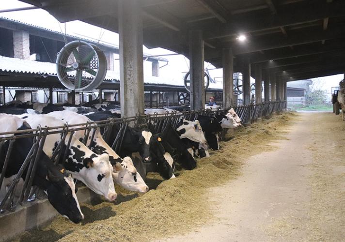 """""""Le mie vacche mangiano di più e sono più tranquille"""""""