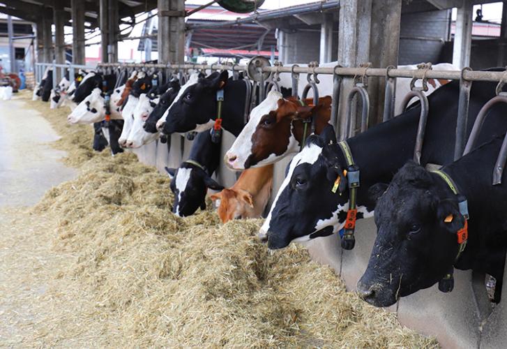 Più cow comfort con la betaina