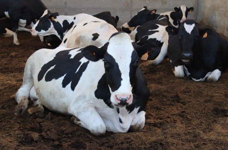 Vacche poco fertili? Parlane con lo specialista Emilcap