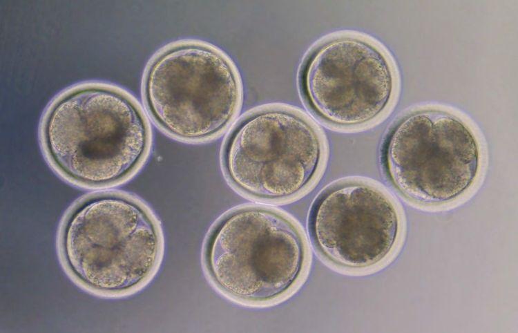 """Le possibili applicazioni della """"in vitro embryo production"""""""