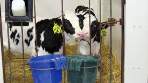 Allevare i vitelli in coppia? Rispondono gli allevatori