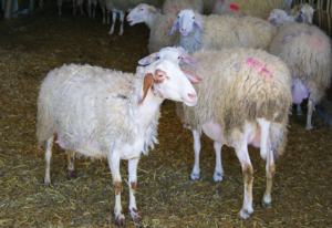 I sistemi di stabulazione per gli ovini da latte