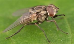 Mai abbassare la guardia contro le mosche
