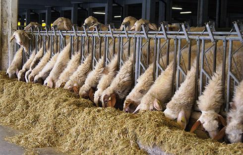 stabulazione, ovini da latte, allevamento, sala mungitura, box