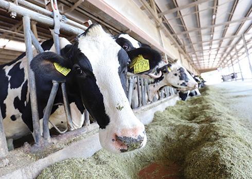 miglioramento genetico, embrioni, bovini da latte, test genomico, seme sessato