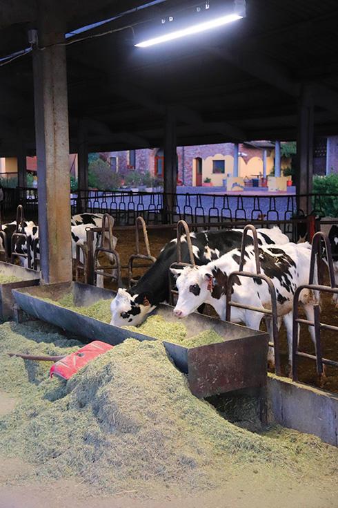 vitelle, Farm-Led for Breeding